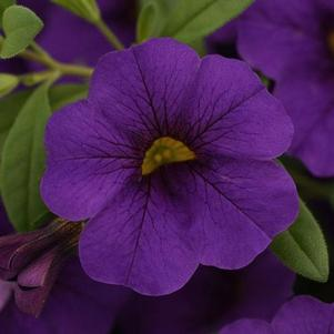Calibrachoa 'Cabaret® Midnight Blue'