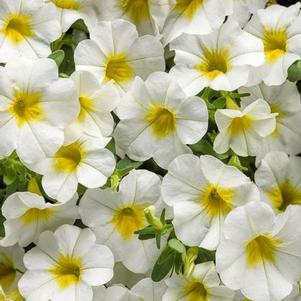 Calibrachoa 'Superbells® Over Easy™'