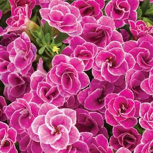 Calibrachoa 'Superbells® Doublette Love Swept'