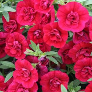 Calibrachoa 'Superbells® Double Ruby'