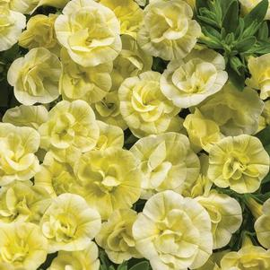 Calibrachoa 'Superbells® Double Chiffon'