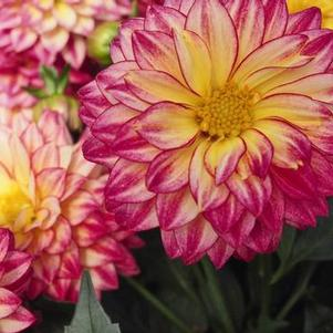 Dahlia 'Hypnotica® Tropical Breeze'