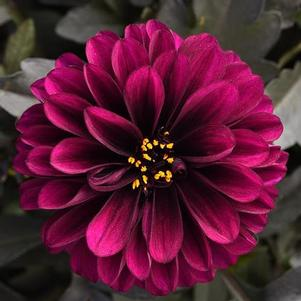 Dahlia 'CityLights™ Purple'
