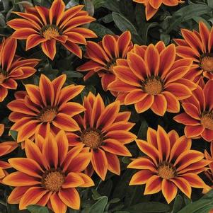 Gazania 'Kiss™ Orange Flame'