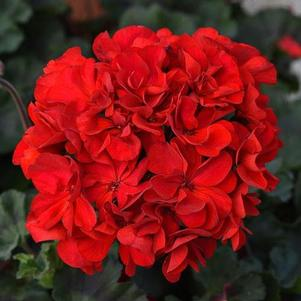 Geranium 'Super Moon Red'
