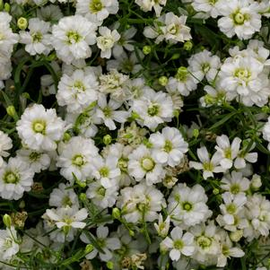 Gypsophila 'Gypsy White'