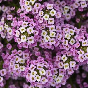 Lobularia 'Easy Breezy™ Pink'