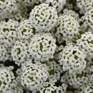 Lobularia 'Easy Breezy™ White'