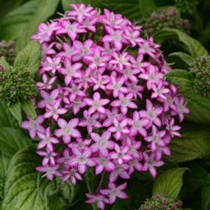 Pentas 'Glitterati™ Purple Star'