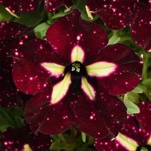 Petunia 'Headliner™ Starry Sky Burgundy'