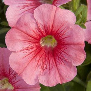 Petunia 'Starlet™ Salmon Red Vein'