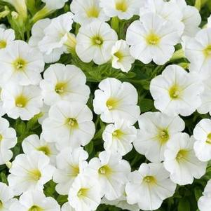 Petunia 'Littletunia™ White Grace'