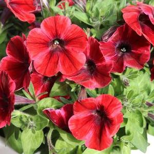 Petunia 'Sweetunia® Fiona Flash'