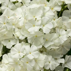 Phlox 'Intensia® White'