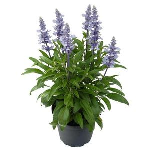 Salvia greggii 'Icon Light Blue'