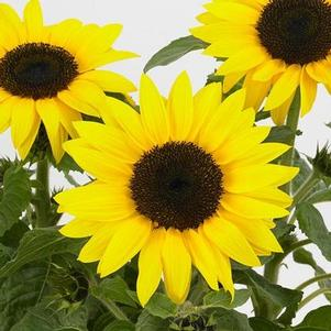Sunflower 'SunBuzz'
