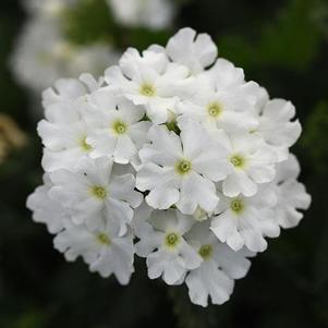 Verbena 'Cadet Upright™ White'