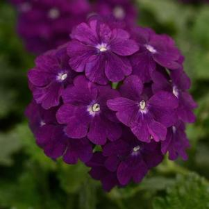 Verbena 'Firehouse™ Purple'