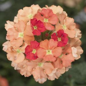 Verbena 'Lanai® Peach Improved'