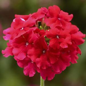 Verbena 'Lanai® Strawberry'