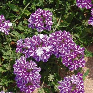 Verbena 'Lanai® Purple Star'