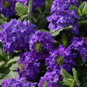 Verbena 'Temari Patio Blue'