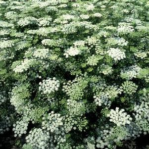 Ammi majus 'Select White'