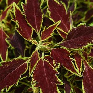 Coleus 'Flame Thrower™ Serrano'