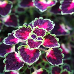 Coleus 'Great Falls Iguazu'