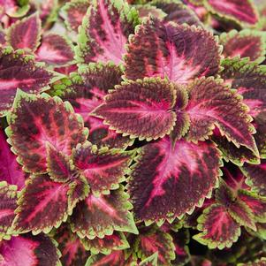Coleus 'Main Street Fifth Avenue'