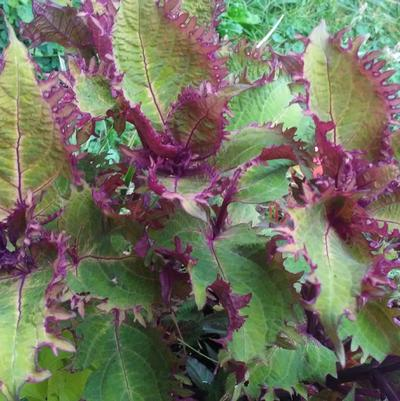 Coleus 'Peter's Wonder'