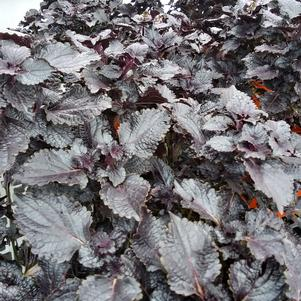 Coleus 'Shiny Shoes'