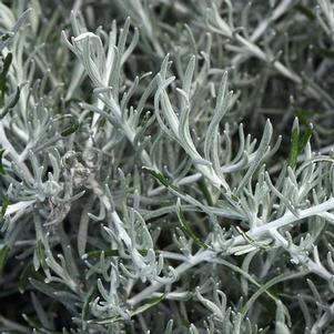 Helichrysum 'Silver Threads'