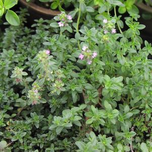 Thyme, creeping 'Doone Valley'