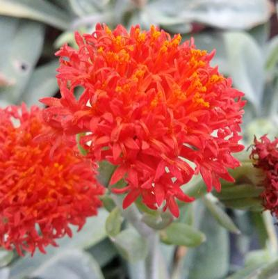 Senecio 'Orange Flame'
