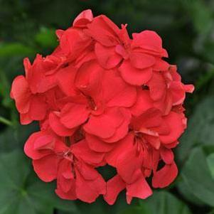 Geranium 'Precision Dark Salmon'