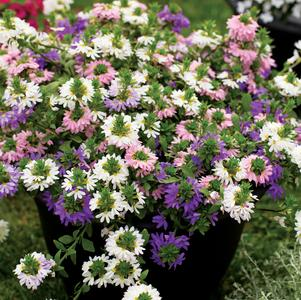 Scaevola 'Pink, Blue and Yellow Mix'