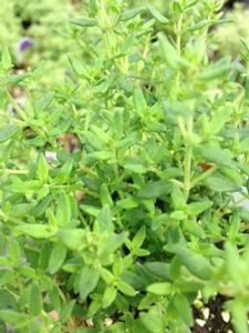Thyme 'English Miniature'