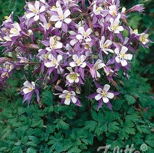 Aquilegia caerulea-hybr. 'Heavenly Blue'