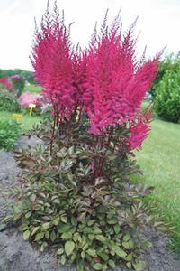 Astilbe chinensis 'Mighty™ Chocolate Cherry'