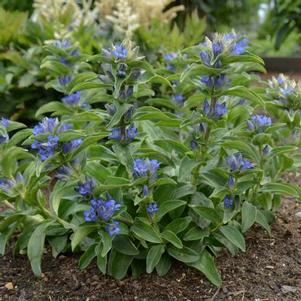 Gentiana cruciata 'Blue Cross'