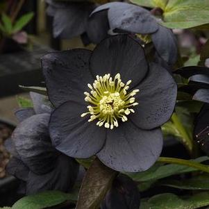 Helleborus 'Winter Jewels® Black Diamond'