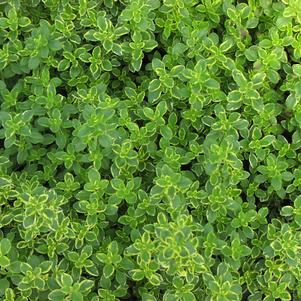 Thyme 'Golden Lemon'