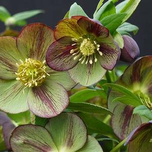 Helleborus 'Winter Jewels® Jade Star'