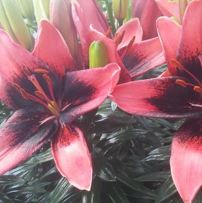 Lilium 'Tiny Shadow™'