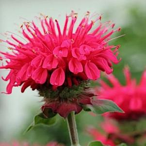 Monarda 'Bee You Bee Happy'