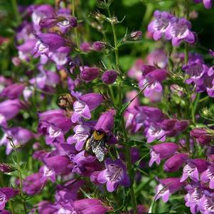 Penstemon x mexicali 'Pikes Peak Purple®'