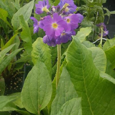 Primula denticulata 'Mix'