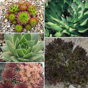 Sempervivum 'Henhouse Mix'