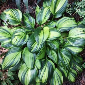 Hosta 'Rainbow's End'